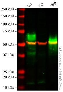 Western blot - Human BSG (CD147) knockout A549 cell line (ab273748)