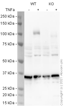 Western blot - Human VCAM1 knockout A549 cell line (ab273758)