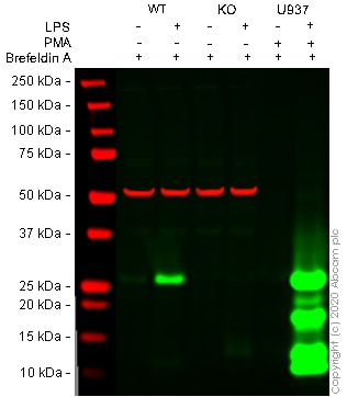 Western blot - Human TNF knockout THP-1 cell line (ab273761)