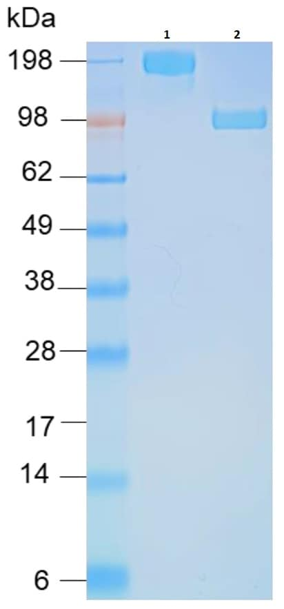 SDS-PAGE - Recombinant Human ACE2 (mutated H374N + H378N) protein (Fc Chimera) (ab273885)