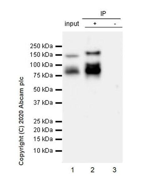 Immunoprecipitation - Anti-LAMC2 antibody [EPR23654-127] - BSA and Azide free (ab274384)