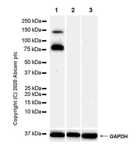 Western blot - Anti-LAMC2 antibody [EPR23654-127] - BSA and Azide free (ab274384)