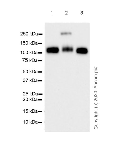 Western blot - Anti-Robo1 antibody [EPR23699-159] - BSA and Azide free (ab274385)
