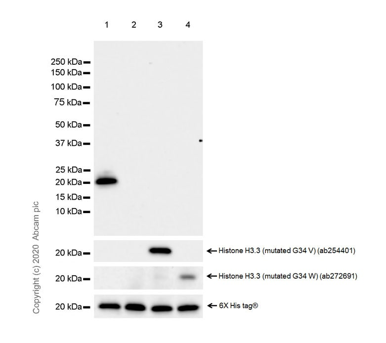 Western blot - Anti-Histone H3.3 (mutated G34R) antibody [EPR23519-91] - ChIP Grade