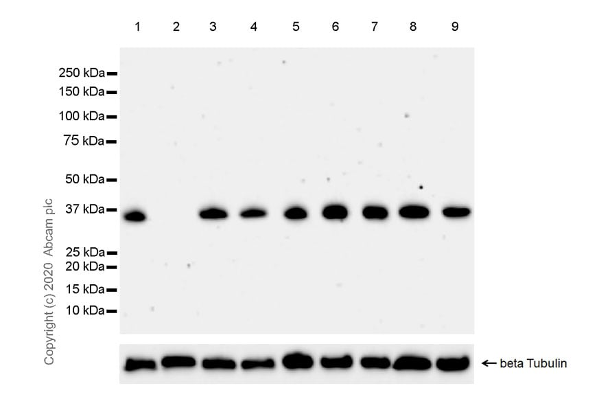 Western blot - Anti-AIDA antibody [EPR20903-53] - BSA and Azide free (ab274421)