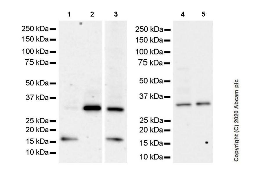 Western blot - Anti-Neurturin antibody [EPR23301-10] - BSA and Azide free (ab274426)