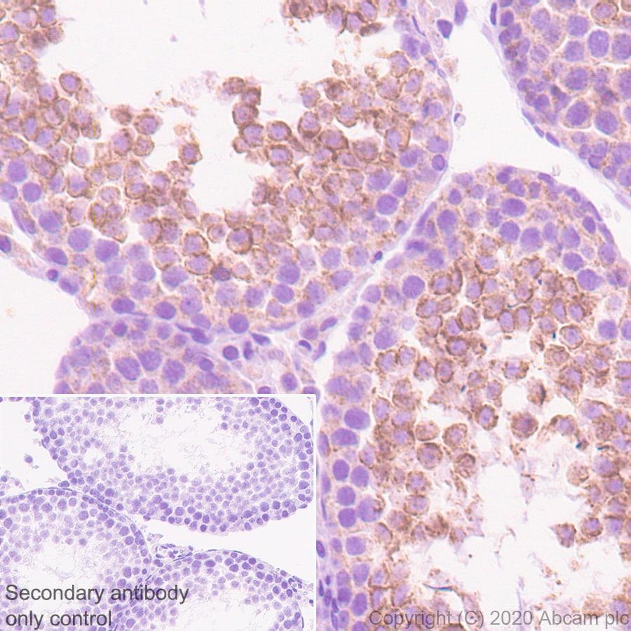 Immunohistochemistry (Formalin/PFA-fixed paraffin-embedded sections) - Anti-Neurturin antibody [EPR23301-10] - BSA and Azide free (ab274426)