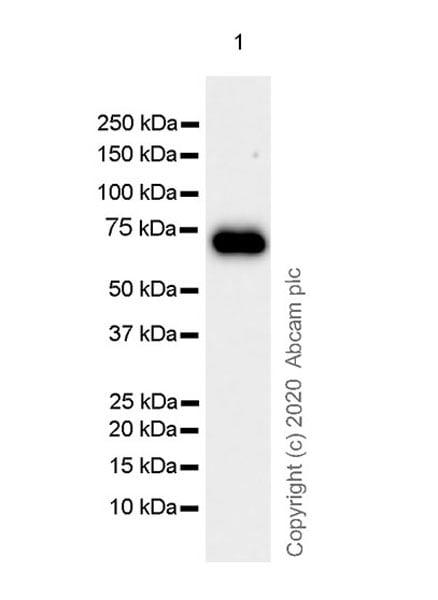Western blot - Anti-PCSK2 antibody [EPR23578-19] - BSA and Azide free (ab274427)