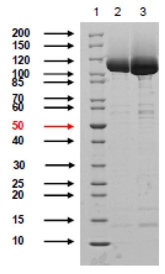 SDS-PAGE - Native Adenovirus hexon protein (ab274658)