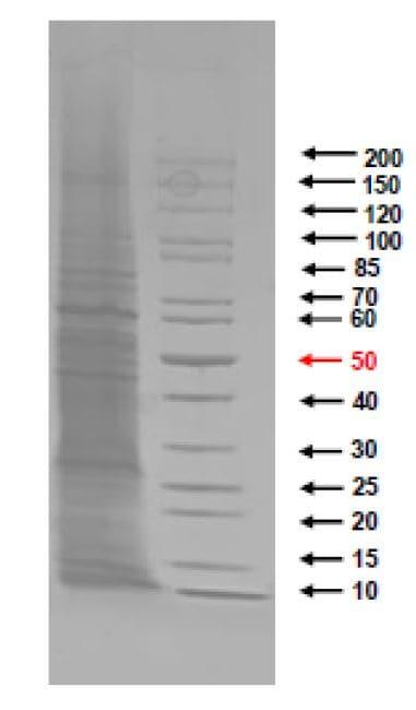 SDS-PAGE - Native Legionella pneumophila protein (ab274665)