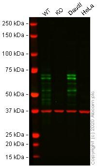 Western blot - Human IKZF1 knockout Jurkat cell line (ab274920)