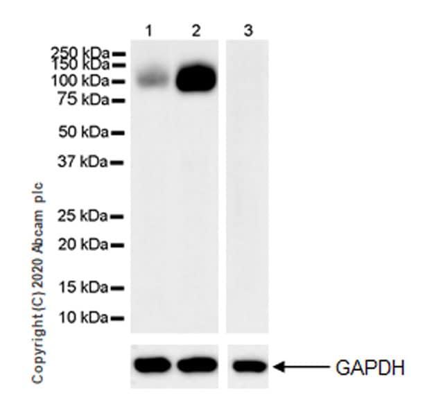 Western blot - Anti-Polymeric immunoglobulin receptor/PIGR antibody [EPR23314-256] (ab275020)