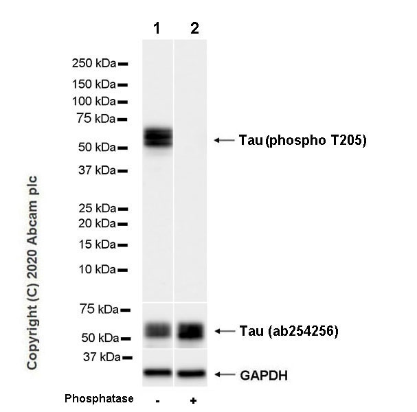 Western blot - Anti-Tau (phospho T205) antibody [EPR23505-13] - BSA and Azide free (ab275027)