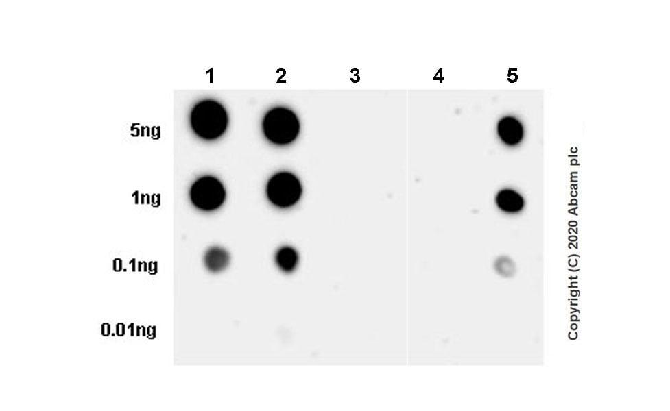 Dot Blot - Anti-Tau (phospho T205) antibody [EPR23505-13] - BSA and Azide free (ab275027)