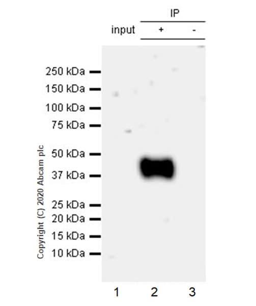 Immunoprecipitation - Anti-CD83 antibody [EPR23809-19] - BSA and Azide free (ab275032)