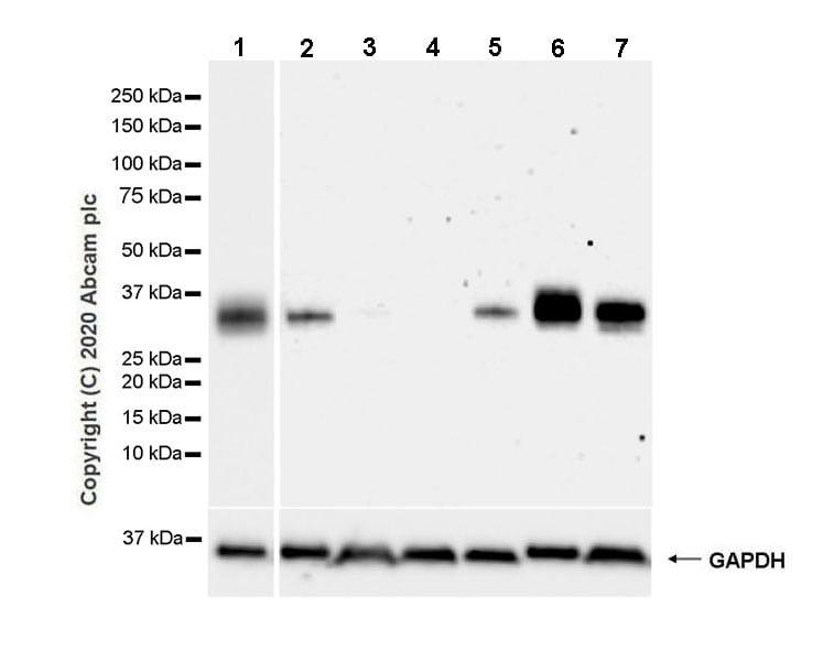 Western blot - Anti-ULBP2 antibody [EPR22303-124] - BSA and Azide free (ab275034)
