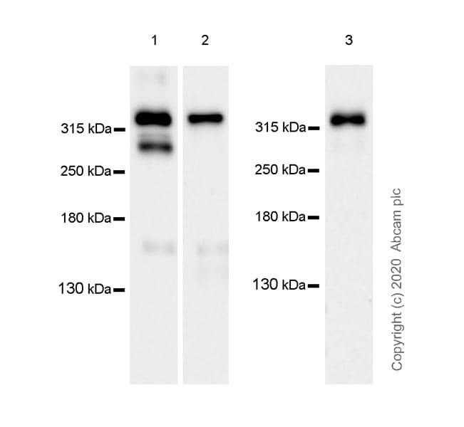 Western blot - Anti-NG2 antibody [EPR23976-145] - BSA and Azide free (ab275038)