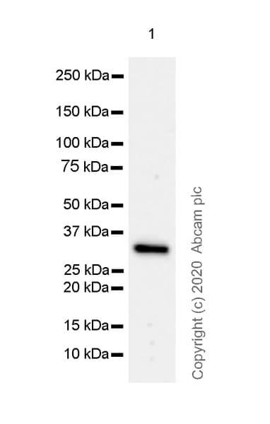 Western blot - Anti-FGL1 antibody [EPR24018-27] (ab275091)
