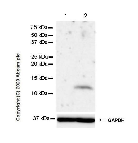 Western blot - Anti-IL-8 antibody [EPR22994-255] - BSA and Azide free (ab275255)