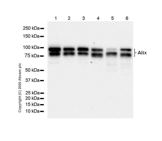 Western blot - Anti-ALIX antibody [EPR23653-32] (ab275377)