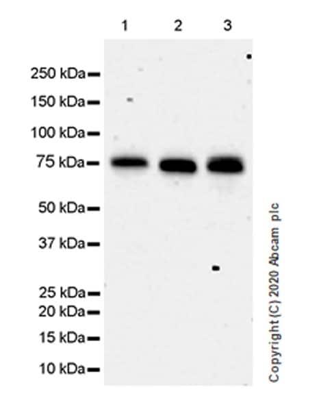 Western blot - Anti-HSF1 antibody [EPR23673-128] - BSA and Azide free (ab275382)