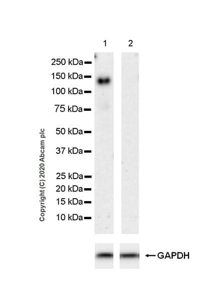 Western blot - Anti-Semaphorin 4D/CD100 antibody [EPR23866-69] (ab275393)