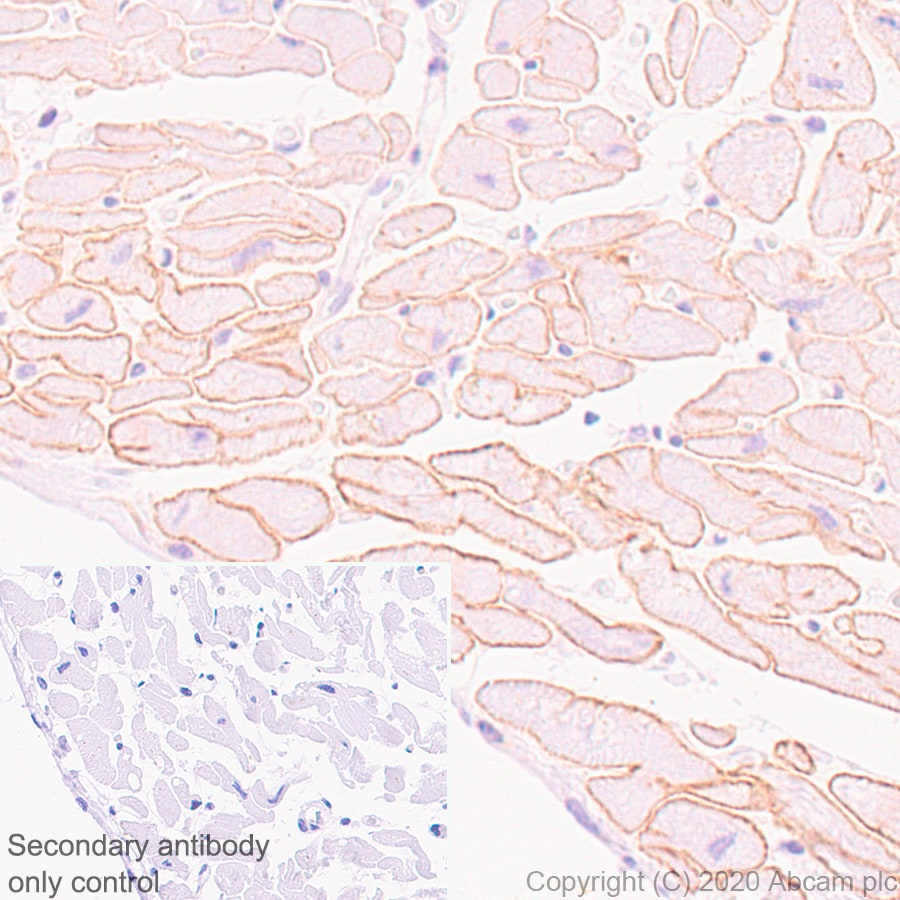 Immunohistochemistry (Formalin/PFA-fixed paraffin-embedded sections) - Anti-Dystrophin antibody [EPR23336-129] - BSA and Azide free (ab275395)