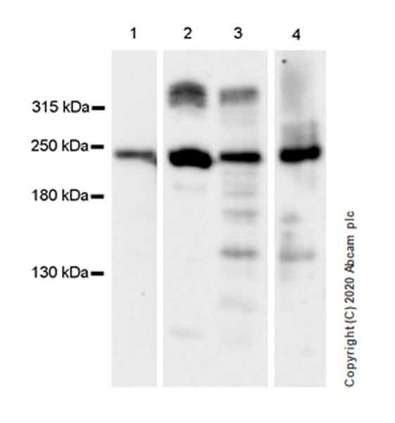 Western blot - Anti-Dystrophin antibody [EPR23336-129] - BSA and Azide free (ab275395)