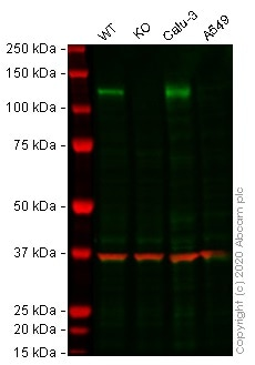 Western blot - Human ACE2 knockout HepG2 cell lysate (ab275495)