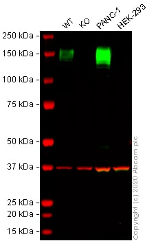 Western blot - Human ANPEP (CD13) knockout THP-1 cell lysate (ab275505)