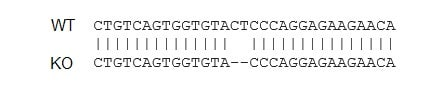 Sanger Sequencing - Human ANPEP knockout THP-1 cell lysate (ab275505)