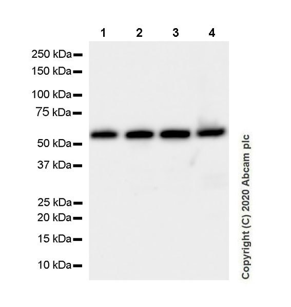 Western blot - Anti-SUFU antibody [EPR23821-101] - BSA and Azide free (ab275747)