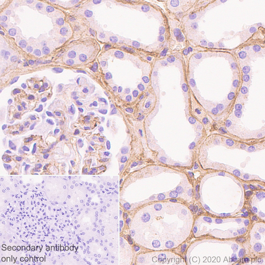 Immunohistochemistry (Formalin/PFA-fixed paraffin-embedded sections) - Anti-COL18A1 antibody [EPR23481-21] - BSA and Azide free (ab275750)