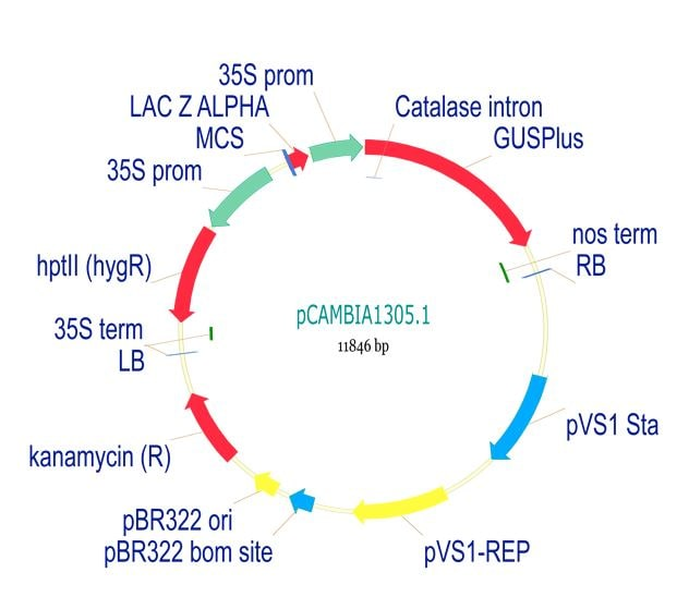 pCambia1305.1 Plant Expression Vector (ab275762)