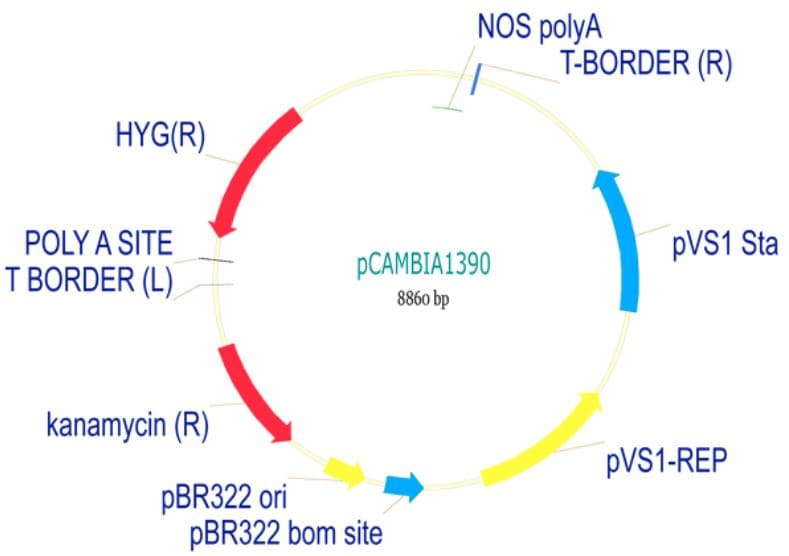 pCambia1390 Plant Expression Vector (ab275767)
