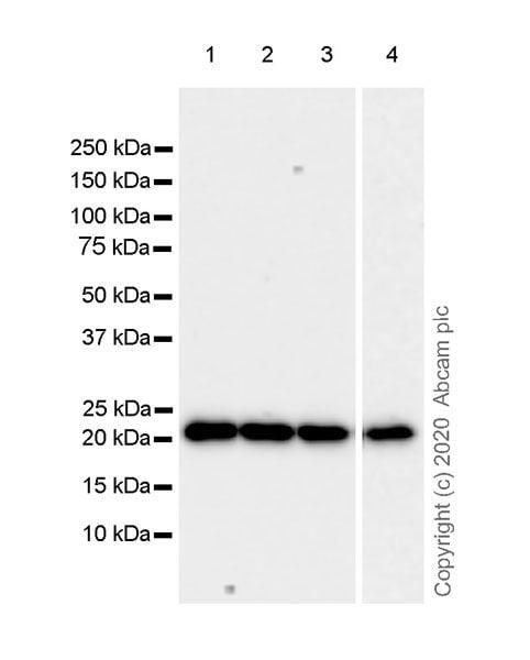 Western blot - Anti-Ras antibody [EPR23474-20] (ab275875)