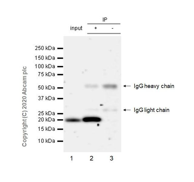 Immunoprecipitation - Anti-Ras antibody [EPR23474-20] (ab275875)
