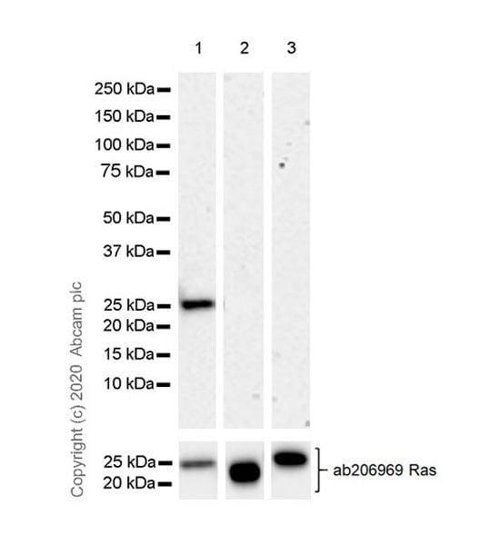 Western blot - Anti-KRAS antibody [EPR23474-76] (ab275876)