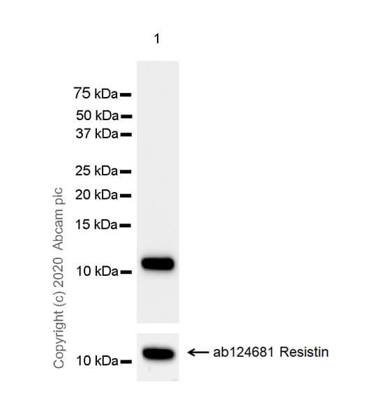 Western blot - Anti-Resistin antibody [EPR23334-171] - BSA and Azide free (ab275887)