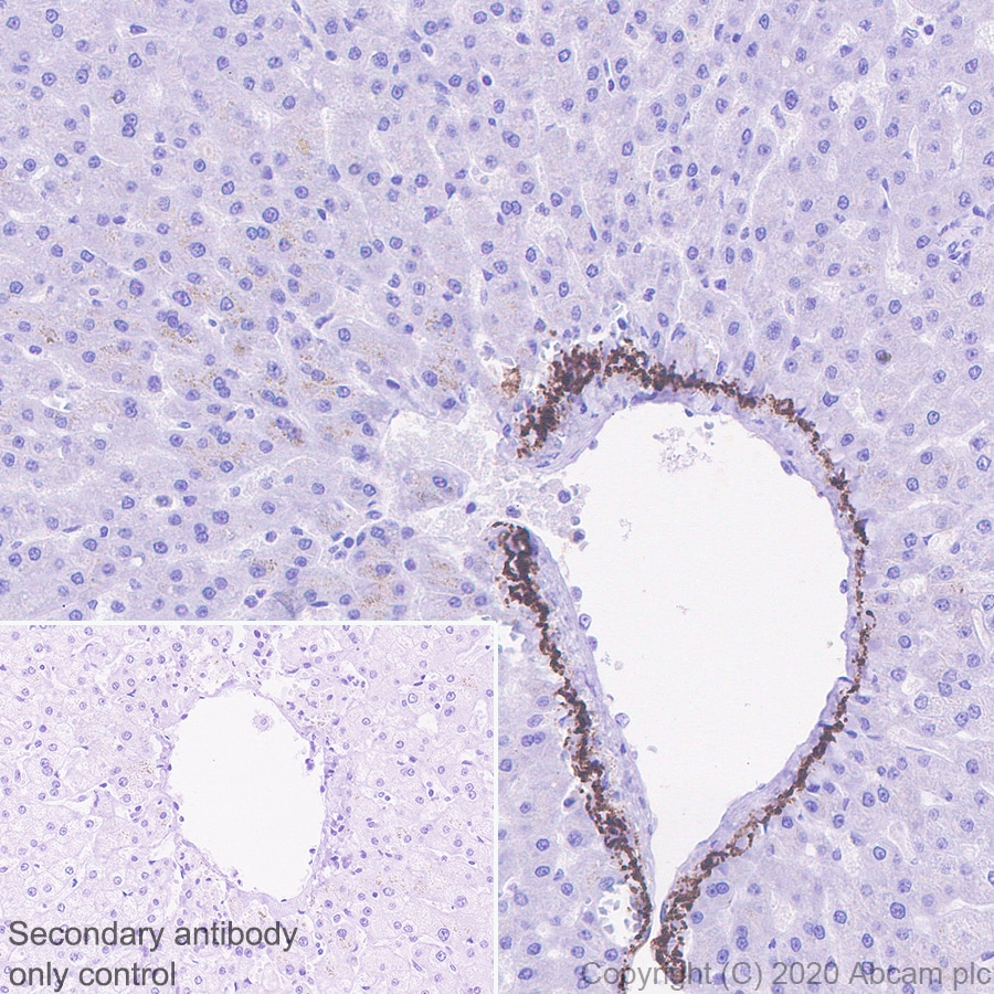 Immunohistochemistry (Formalin/PFA-fixed paraffin-embedded sections) - Anti-C5 / C5b antibody [EPR23940-3] (ab275931)