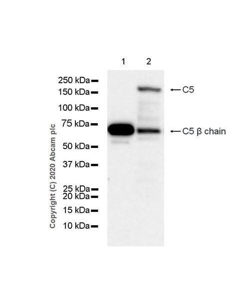 Western blot - Anti-C5 / C5b antibody [EPR23940-3] (ab275931)