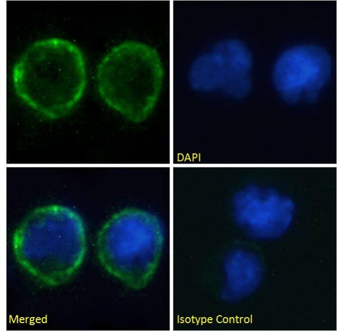 Immunocytochemistry/ Immunofluorescence - Anti-CD80 antibody [IDEC-114 (Galiximab)] (ab275981)
