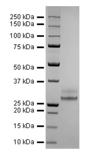 SDS-PAGE - Recombinant Human coronavirus SARS-CoV-2 Spike Glycoprotein RBD (His tag) (ab275986)