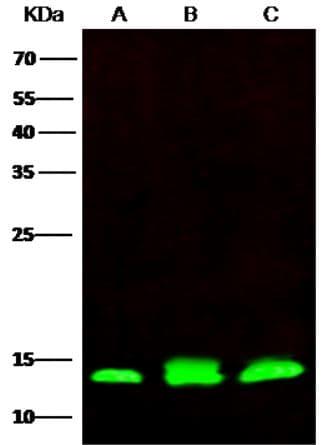 Western blot - Anti-PHPT1 antibody [7] (ab276061)