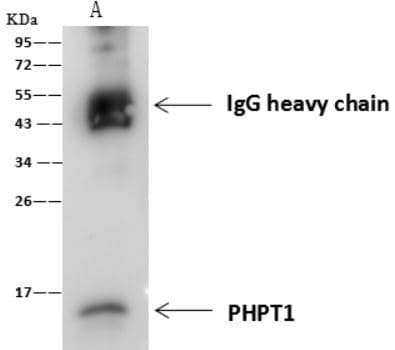 Immunoprecipitation - Anti-PHPT1 antibody [7] (ab276061)