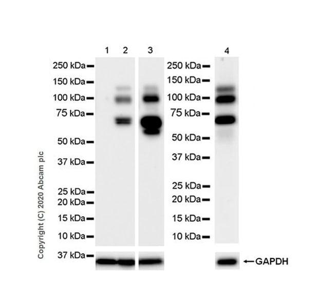 Western blot - Anti-ADAMTS1 antibody [EPR23324-45] - BSA and Azide free (ab276138)