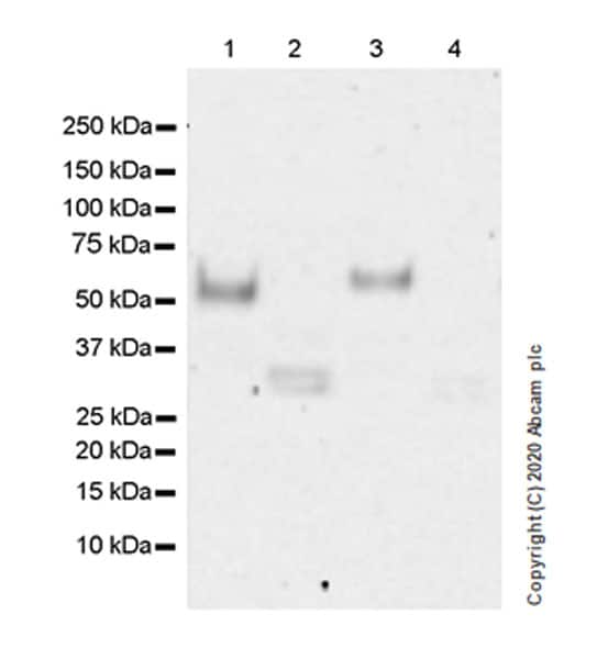 Western blot - Anti-MICA antibody [EPR24086-121] - BSA and Azide free (ab276141)