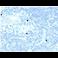 Immunohistochemistry (Formalin/PFA-fixed paraffin-embedded sections) - Anti-Retinoid X Receptor beta/RXRB antibody [PCRP-RXRB-2B6] - BSA and Azide free (ab277119)