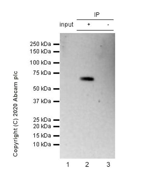 Immunoprecipitation - Anti-cGAS antibody [EPR23611-101] - BSA and Azide free (ab277486)