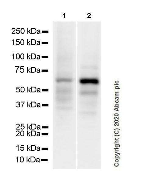Western blot - Anti-cGAS antibody [EPR23611-101] - BSA and Azide free (ab277486)